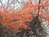 Flaming combretum, take two.