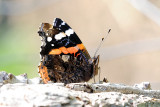 Red Admiral / Admiral