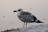 Great Black-backed Gull / Svartbag