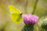 Common Brimstone / Citronsommerfugl