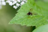 The fly / Fluen