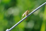 Bug on a wire / Insekt på trådhegn