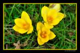 Crocus chrysanthus Goldilocks