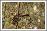 Feeding Song Sparrow