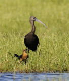 Glossy Ibis - Female Boat-tailed Grackle