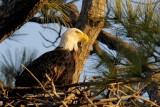 Bald Eagle 1089 - 2.jpg