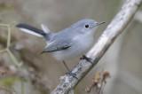 Blus-Gray Natcatcher