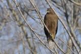 Immature Red-shouldered  Hawk
