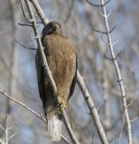 Immature Red-shoulder Hawk