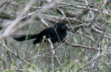Grooved-billed Ani