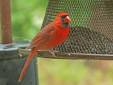 Another Cardinal