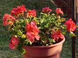 Last year's Geraiums bloom again