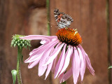Painted Lady visits