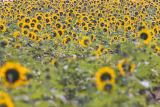 Tilghman island sunflowers