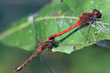 Sympetrum vicinum mating