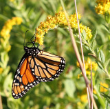 Monarch on St John's Wort