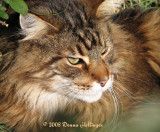 Maine Coon Cat, Augie