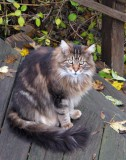 Maine Coon Cat Augie