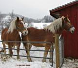 2 Percherons With Winter Coats