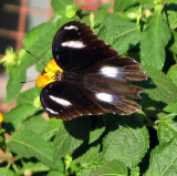 Cambodian Butterfly