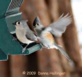 Parus bicolor Feeding
