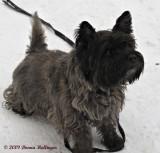 Kathleen's Cairns Terrier