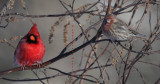 Male Cardinal and House Finch Waiting