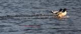 2 Common Merganser Drakes