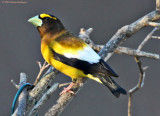 Evening Grosbeak this morning