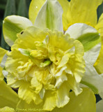 Ruffled Narcissus