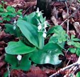 Orchis spectabilis