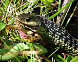 Snake ingesting a live frog