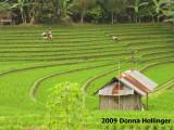 Sawah Rice Farming