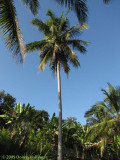 One Coconut Tree at Iskandar's Farm