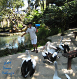 Australian Pelicans and the BirdKeeper