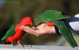 King Parrots (Male and Female)