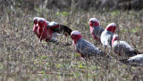 Galahs (parrots) feeding in a flock