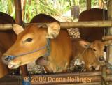 pupuan.cows.0430.jpg