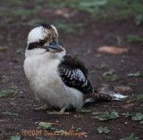 Kookaburra at Warrumbungles