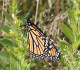 monarch.0006.jpg