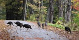 Wild Turkeys Crossing the Road