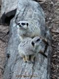 meercats.1210.jpg