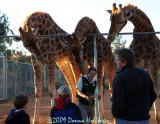 Giraffes at Sunset