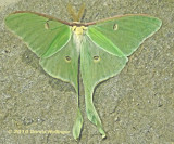 Lunar moth on the Stairs