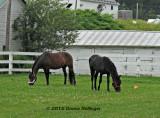 Two Morgan Horses