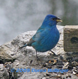 Indigo Bunting on the Terrace