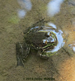 Small Dark Green Frog
