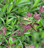 A New Grasshopper!