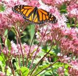 Monarch in Joe Pyeweed