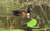 An Immature Blue Winged Teal?